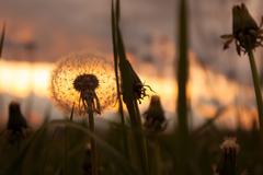 Dandelions at dusk against the sunlight Stock Photos
