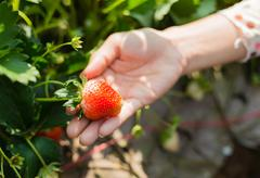strawberry on woman hand - stock photo