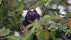 White-Tufted-Ear Marmoset Stock Footage