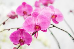 Pink streaked orchid flower Stock Photos