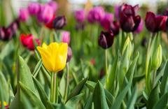 yellow tulip in garden - stock photo