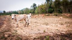 Cow in field dry season in thailand Stock Photos