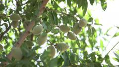 Rack Focus to a Cluster of Almonds on the Tree Stock Footage