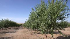 Almond Orchard - stock footage