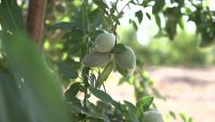 Close Up Pan of a Cluster of Almonds - stock footage