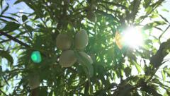 Close Up of a Cluster of Almonds - stock footage