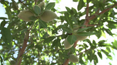 Close Up of a Cluster of Almonds Stock Footage