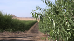 Rack Focus of an Almond Orchard - stock footage