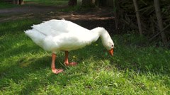 White goose on a green lawn. close-up Stock Footage