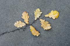 Oak leaves on asphalt - stock photo