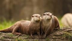 Two Otters sitting on a log Stock Footage