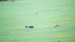 Countryside field grazing horses with heat haze, hot summer Stock Footage