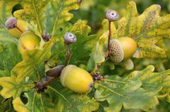 Stock Photo of oak tree with the fruit acorn