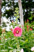 Pink hollyhock Stock Photos