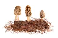 Stock Photo of yellow morel mushrooms and pine needle substrate isolated on white