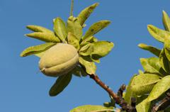 Branch of almond tree Stock Photos
