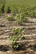 Cotton blossom - stock photo