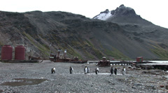 King penguins on South Georgia Stock Footage