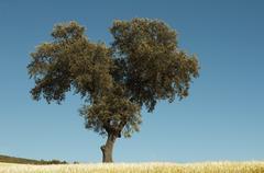 Acorns trees Stock Photos