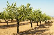 Stock Photo of Almond plantation trees