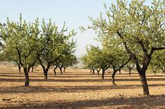 Almond plantation trees Stock Photos