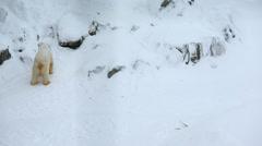 Polar Bears snow covered Wildlife Park Ranua Finland Stock Footage