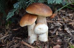 edible mushrooms  - stock photo