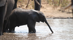 African elephant calf drinking Stock Footage