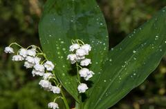 Lily of the valley - the symbol of spring, warmth, purity and tenderness Stock Photos