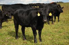 Black cow aberdeen-angus Stock Photos