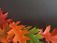 Colourful oak leaves, on black background - stock photo