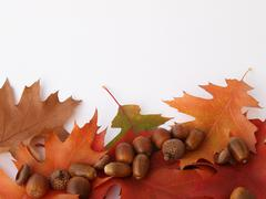 Colorful oak leaves with acorns - stock photo