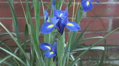 Mid shot Iris in flower boarder - stock footage