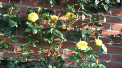 Yellow climbing Rose - Arthur Bell 08 Stock Footage