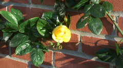 Yellow climbing Rose - Arthur Bell 04 Stock Footage
