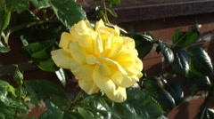 Yellow climbing Rose - Arthur Bell 01 Stock Footage