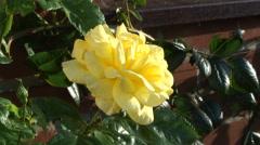 Stock Video Footage of Yellow climbing Rose - Arthur Bell 01