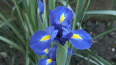 Close up Iris in flower boarder - stock footage