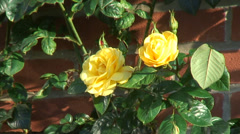 Yellow climbing Rose - Arthur Bell 06 Stock Footage