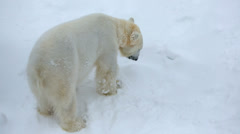 Polar Bear snow covered Wildlife Park Ranua Finland Stock Footage