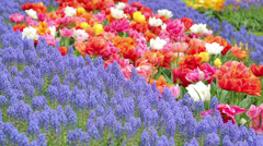 Tulips, keukenhof, holland, the netherlands Stock Footage