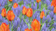 Orange tulips and grape hyacinth Stock Footage