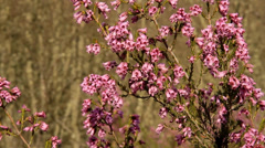 Heather Flowers Stock Footage