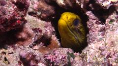 Juvenile Yellow edged moray breathing, Gymnothorax flavimarginatus, HD, UP15163 Stock Footage