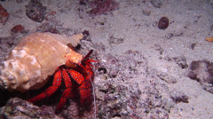 Giant orange hermit crab walking at night, Dardanus megistos, HD, UP15166 Stock Footage
