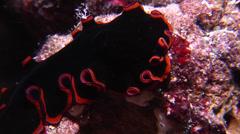 Orange edge black flatworm at night, Pseudobiceros affinis, HD, UP15171 Stock Footage