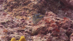 Pacific crown toby courting, Canthigaster axiologus, HD, UP15191 Stock Footage