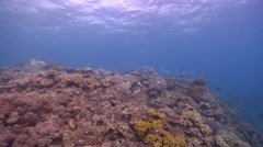 Moorish idol swimming, Zanclus cornutus, HD, UP15192 Stock Footage