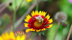 A bee collecting nectar fon yellow-red flower. close-up. Stock Footage