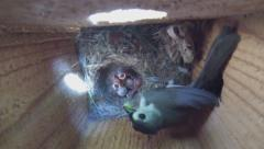 Tufted Titmouse Babies Stock Footage